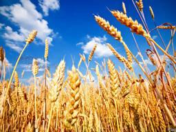 Закупаем пшеницу постоянно.