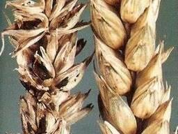Закупаем пшеницу с головней