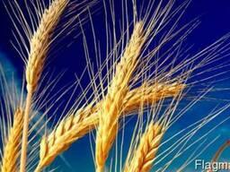 Закупаем пшеницу по всей Украине оптом!