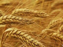 Закупаем ячмень, пшеницу.