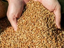 Закупаем зерно (пшениця, ячмень)