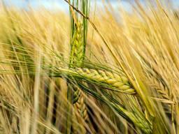 Закупаем зерновые . Любые объемы