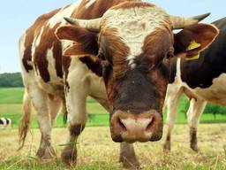 Закупаємо на постійній основі яловичина живою вагою.