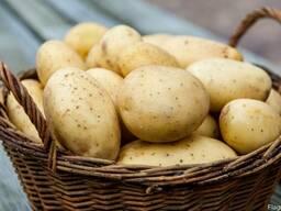 Продам картофель для переработки и столовых 5