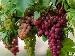 Закупка винограда оптом