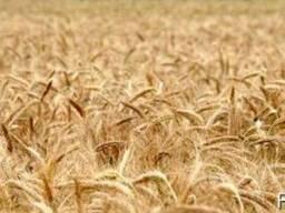 Закупка зерновых и масличных культур.