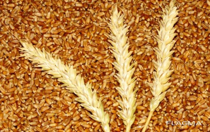 Закуповуємо пшеницю у виробників. Будь-який об'єм. Самовивіз