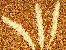 Закуповуємо пшеницю у виробників. Будь-який об'єм. Самовивіз - фото 1