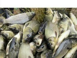 09beb3ccae41b4 Зарибок, риба короп лускатий елітний дворічка.