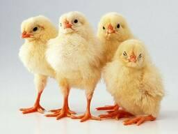 Заводские цыплята бройлеры КОББ 500 в Одессе и области.