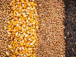 Зерно - пшеница, кукуруза, ячмень, просо, овес, рожь Украина