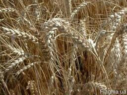 Пшеница озимая Житница Одесская устойчивая к болезням