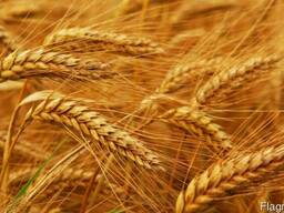 Жито озиме (жатва)