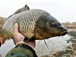 Живая товарная рыба: карп (зеркальный), белый амур, толстоло