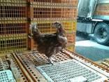 Живую курицу на убой