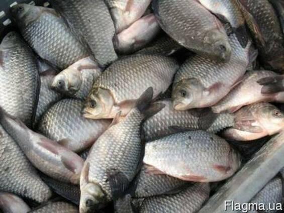 Живя рыба