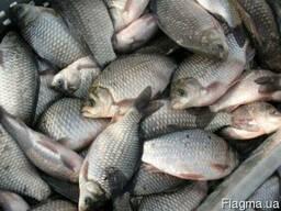 Живая рыба карась 200 кг в день.