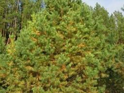 Живые новогодние елки и сосны